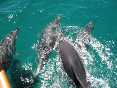 Dolphins on the bow in the Cavallis