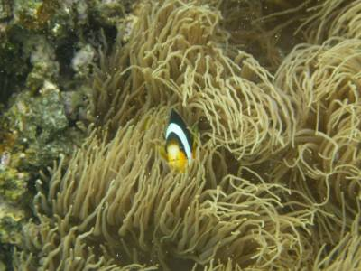 A clown anemone fish at Hideaway Island