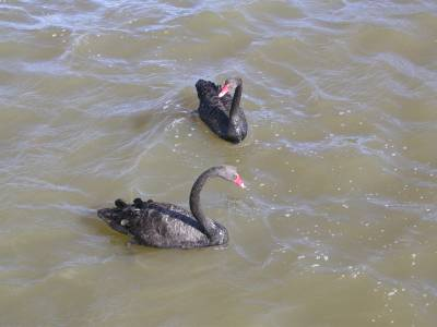 Black Swans at Home Point in Launceston