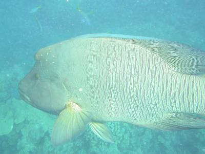 Large Maori Wrasse at Bait Reef - Sept 2004