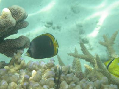 A butterfly fish at Broomfield Reef - Sept 2004